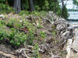 Shoreline clearing of invasives continues