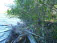 Invasive Glossy Buckthorn overtaking shoreline